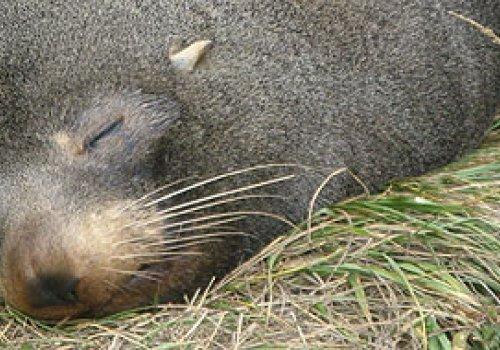 Begegnung mit Seehunden in Kaikoura